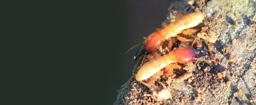 slider_termitas